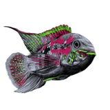Acara fish sketch vector graphics. Acara fish with the big forehead grey, pink and green colors, floating forward, sketch vector graphics color picture Stock Photo