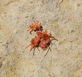Acari dell'artropodo sulla terra Chiuda sul macro acaro rosso del velluto o fotografie stock libere da diritti