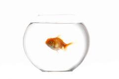 Acaricia el goldfish Fotografía de archivo libre de regalías