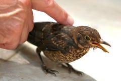 Acariciando um pássaro Fotografia de Stock