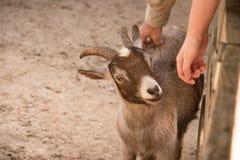 Acariciar la cabra Imagen de archivo libre de regalías