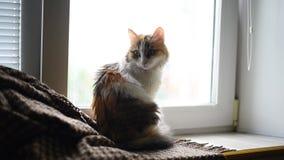 Acaricie el color de la tortuga del gato que se sienta en la ventana almacen de video