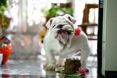 Acaricie el dogo inglés con una flor rosada en su boca en invernadero Fotos de archivo