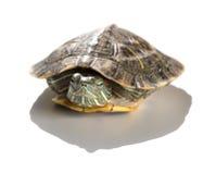 Acaricie el resbalador rojo-espigado de la tortuga o los elegans del scripta de Trachemys ocultan su cabeza Foto de archivo libre de regalías