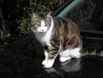 Acaricie luz del sol enyoing de la primavera del gato la primera, Croacia Imágenes de archivo libres de regalías