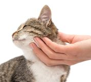 Acaricie um gato em um fundo branco Imagens de Stock Royalty Free