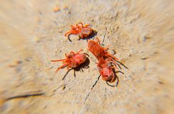 Acarides d'arthropode au sol Fermez-vous vers le haut de macro acarides rouges de velours ou image stock