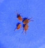 Acarides d'arthropode sur un fond bleu Fermez-vous vers le haut du macro velours rouge photos libres de droits