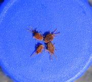 Acarides d'arthropode sur un fond bleu Fermez-vous vers le haut du macro velours rouge photographie stock libre de droits