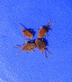 Acarides d'arthropode sur un fond bleu Fermez-vous vers le haut du macro velours rouge photo libre de droits