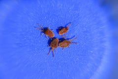 Acarides d'arthropode sur un fond bleu Fermez-vous vers le haut du macro velours rouge image stock