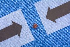 Acaro del parassita che si siede sull'i jeans Il pericolo del morso del segno di spunta fotografie stock