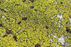 Acarospora contigua liszaj zdjęcia stock