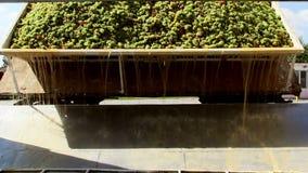 Acarree la descarga de las uvas en una de las trituradoras alineadas almacen de video