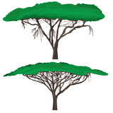 Acasia shelter. Illustration tree acasia white background Royalty Free Stock Images