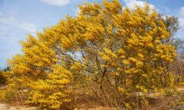Acassia-aneura Blüte im Gelb auf Sandhügel Stockfotos