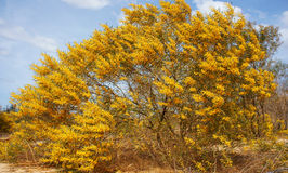 Acassia aneura bloom in yellow on sand hill Stock Photos