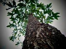 Acassia-Baum Stockfotografie