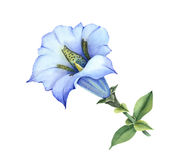 Acaulescente gentiana azul libre illustration