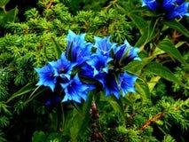 Acaulis azules de la genciana de la flor Fotos de archivo
