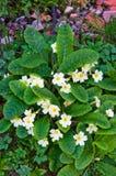 Acaulis-Blumen Lizenzfreies Stockfoto