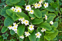 Acaulis-Blumen Stockfotografie