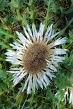Acaulis curas do Carlina da flor do cardo imagem de stock royalty free