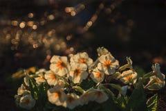 Acaulis Primula Стоковые Изображения RF