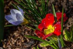 Acaulis Primula Стоковая Фотография RF