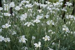 Acaulis Silene с белыми цветками стоковые изображения