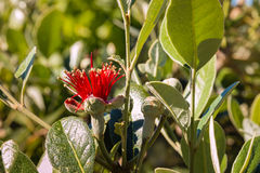 Acca-sellowiana Blume und Knospen Lizenzfreie Stockbilder