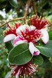 Acca Sellowiana kwiaty Zdjęcia Stock