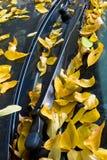 accacia листает windscreen Стоковая Фотография RF