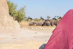 Accampandosi vicino agli elefanti Fuoco selettivo sul gregge dell'elefante, nei precedenti Tenda sfuocato nella priorità alta Avv Fotografie Stock Libere da Diritti