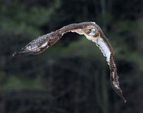 Accelerating Red-tailed Hawk Royalty Free Stock Images