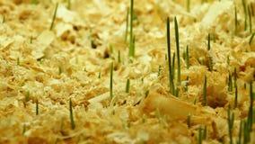 Accelererad tillväxt av nytt nytt grönt gräs stock video