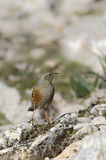 Accentor alpin Photographie stock
