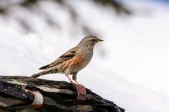 Accentor - (Prunella collaris Montana) Lizenzfreie Stockfotografie