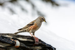 Accentor - (Prunella collaris montana) Stock Photo