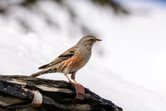 Accentor - (Prunella collaris montana) Royalty Free Stock Photography