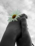 Accept my friendship. Sky, hand, daisy, concept Stock Images