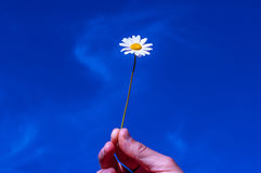 Accept my friendship , sky, hand, daisy, concept. Royalty Free Stock Photos