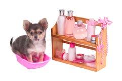 Accessori della stazione termale e cucciolo affascinanti della chihuahua Fotografia Stock Libera da Diritti