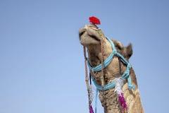 Accessories, Animal, Arabian Royalty Free Stock Image