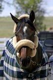 accessorized häst Royaltyfri Fotografi