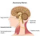 Accessory nerve vector illustration