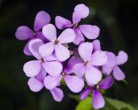 Acción canosa, incana del Matthiola, flores, primer, foco selectivo, DOF bajo Imagen de archivo libre de regalías