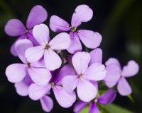 Acción canosa, incana del Matthiola, flores, primer, foco selectivo, DOF bajo Fotografía de archivo libre de regalías