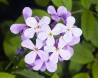 Acción canosa, incana del Matthiola, flores, primer, foco selectivo, DOF bajo Imagen de archivo