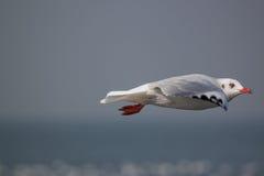 Acción de la gaviota del vuelo Fotos de archivo